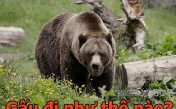 Con gấu có dáng đi như thế nào?