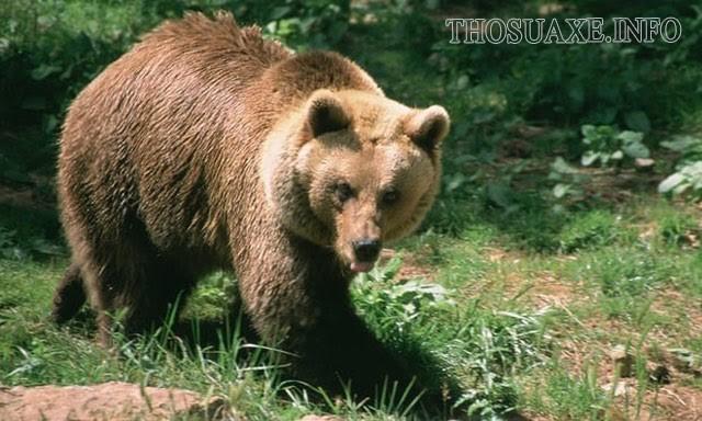 Gấu nâu có dáng đi như thế nào?